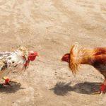 Keuntungan Main Judi Sabung Ayam Di Situs S128