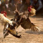 Langkah-langkah untuk Berjudi Sabung Ayam S128